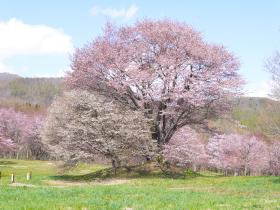 【八幡平市】岩手県県民の森のオオヤマザクラ