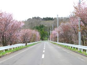 【小坂町】樹海ライン(ベニヤマザクラ)