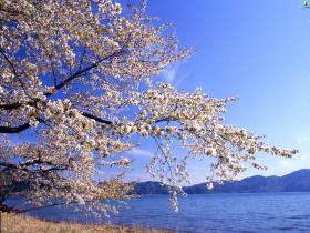 【仙北市】田沢湖畔の桜