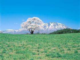 【雫石町】小岩井農場の一本桜