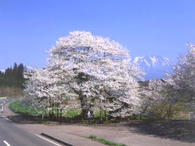 【雫石町】弘法桜