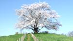 桜フォトギャラリー