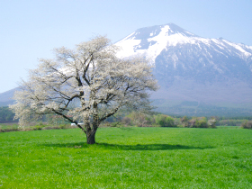 【八幡平市】上坊牧野の一本桜