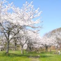【八幡平市】八幡平市さくら公園