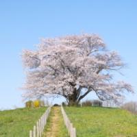【八幡平市】為内の一本桜