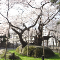 【盛岡市】石割桜