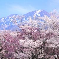 【仙北市】水沢温泉郷の桜と駒ヶ岳