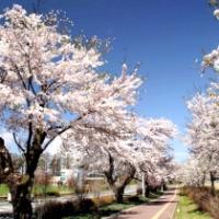 【滝沢市】岩手県立大学前の桜並木